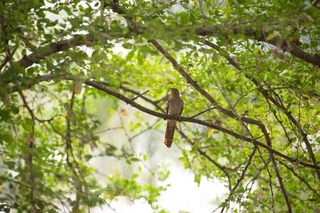 A female plaintive cuckoo is perdhing on a tree branch and eating its prey.