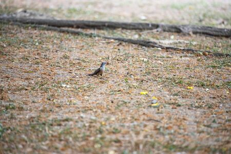A plaintive cuckoo is standing on the ground searching for prey. Stock Photo