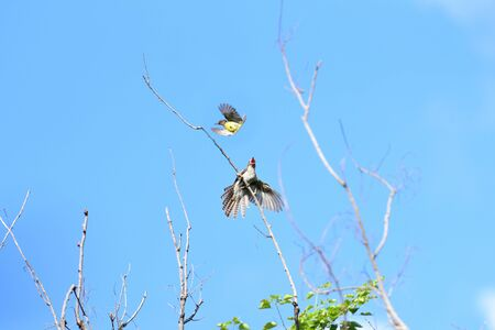 A fighting between a juvenile paintive cuckoo and a small bird.