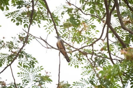 A male plaintive cuckoo is perching on a tree branch.