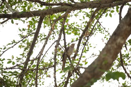 A female plaintive cuckoo is perching on a tree branch. Stock Photo