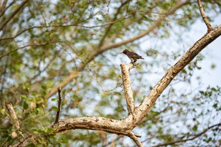 A violet cuckoo is perching on a tree stump.