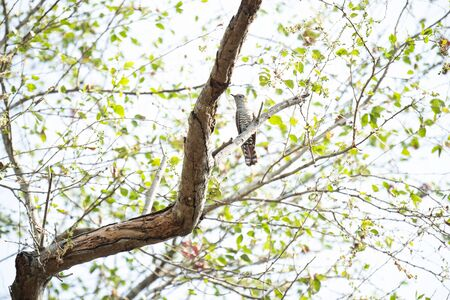 A female  violet cuckoo is perching on a tree branch.