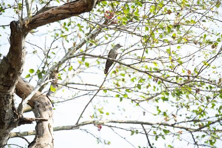 A violet cuckoo is perching on a tree branch.