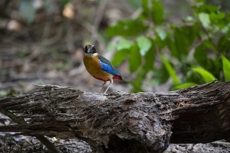 The colourful bird with a black head , white collar , green upper parts , blue wings and a reddish vent area.