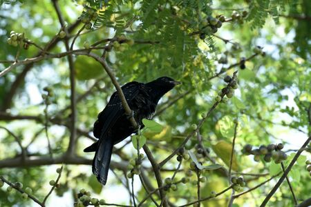 A large cuckoo which eat fruits and has loud distinctive calls. Stock Photo