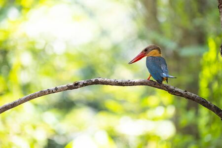 A stork - billed kingfisher perches on a tree branch , turning his back and lifting its tail.