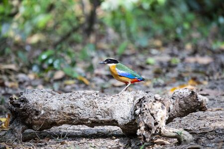 A blue - winged pitta is standing on a wood log. Imagens