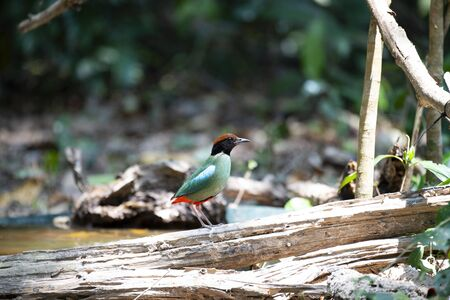 A side view of a hooded pitta on a decayed log.