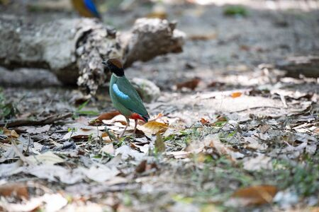 The back view of a hooded pitta.