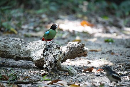 A hooded pitta is standing on a decayed log. Stock Photo