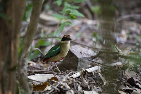 A small and brightly colored bird with seven different colors of plumage and whistled song.