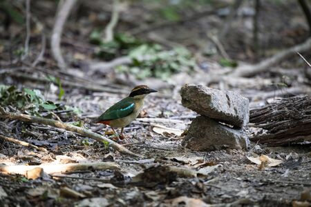 The small colorful pitta is standing on ground and looking for preys.