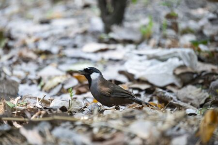 The medium - sized laughingthrush with black on face and throat.