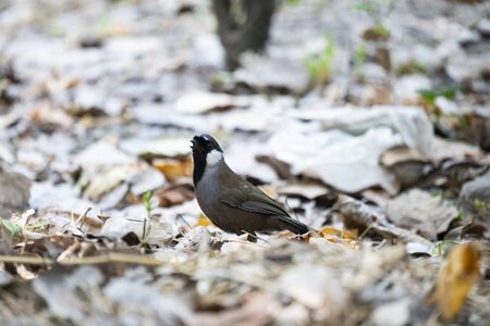 A black - throated laughingthrush is standing on the ground and looking on .