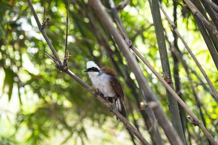 The social bird in chestnut - and - brown color with white hood , crest and breast and broad black mask.