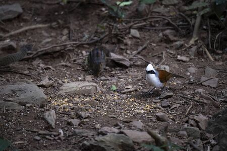 A white - crested laughingthrush is foraging on the ground.