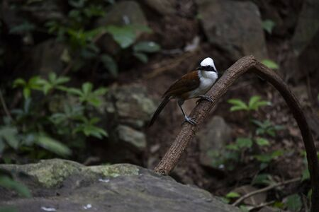 A white - crested laughingthrush is perching on a big creeper and looking on .