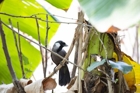A black - throated laughingthrush is perching on a dry banana leaf.