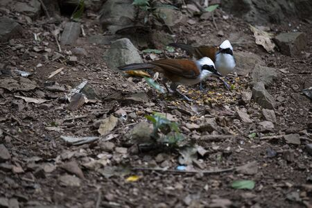 The two white - crested laughingthrush are foraging on the ground.