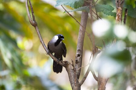 The laughingthrush is perching on a tree branch and looking on .