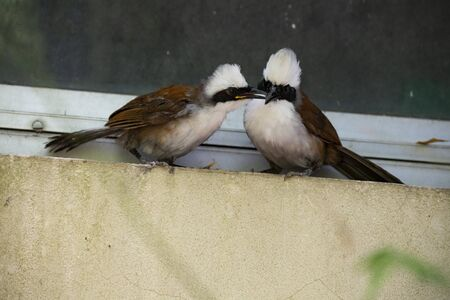 A pair of white - crested laughingthrush is perching on a glass window.