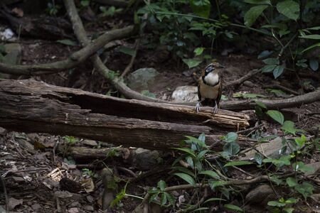 A greater necklaced laughingthrush is perching on a decayed log and making calls.