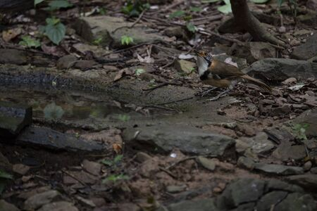 A large , long - tailed laughingthrush is standing on the ground and looking up.