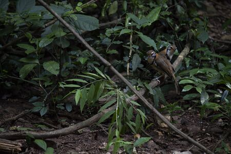 A couple of large laughingthrush is perching on a big creeper. Banco de Imagens