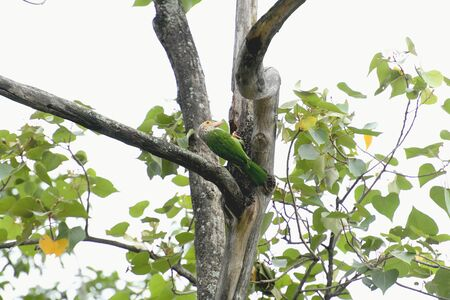 A lineated barbet is perching over its tree hole preparing to feed its baby.