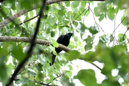 A male asian koel is perching silently on a tree branch. Stock Photo