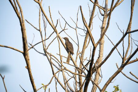 A female asian koel is perching silently on a tree branch. Stock Photo