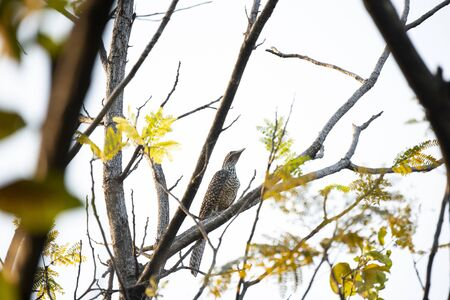 A young female asian koel is perching on a tree branch.