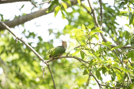 A lineated barbet is perching on a tree branch.