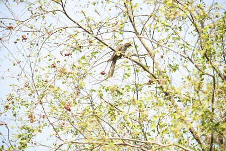 A female asian koel is perching on a tree branch and making calls.