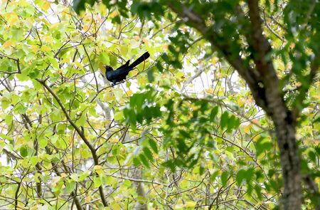 A male asian koel is perching on a tree branch and looking for fruits.