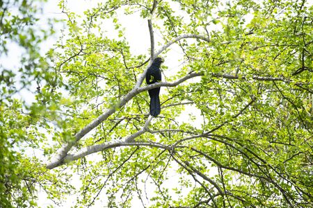 A male asian koel is perching on a tree branch and making calls.