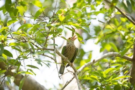 A lineated barbet is perching on a tree branch and making calls. Stock Photo