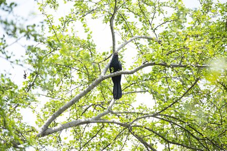 A male asian koel is perching on a tree branch and making loud calls.
