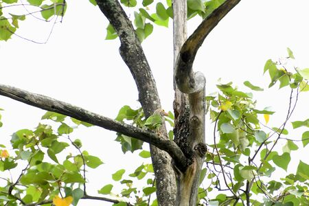 A mother bird of lineated barbet is perching on a tree branch preparing to feed its baby.