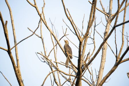 A female asian koel is perching silently on a tree branch. Zdjęcie Seryjne