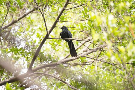 A male asian koel with red eyes  is perching on a tree branch.