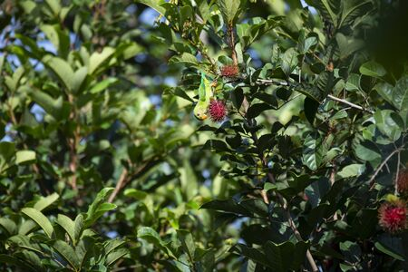 A vernal hanging parrot is perching on a brandh of rambutan tree and hanging upside down.