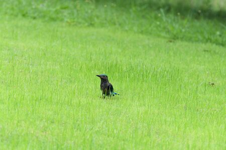 The stocky blue bird was standing in a grass field to search for food.