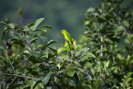 The small , green hanging parrot with red rump and bill  is perching on a tree branch.