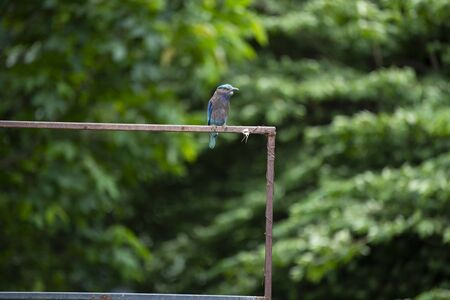 The stocky blue bird was perching on a steel bar in sunlight.