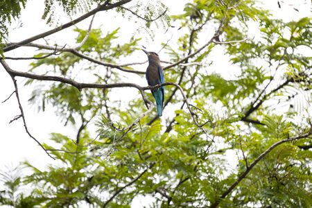 The stocky blue bird was perching on bare branch of a tree. Stock Photo
