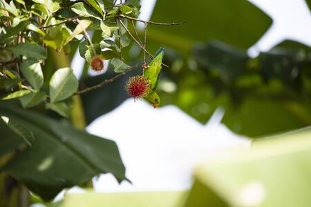 A vernal hanging parrot is perching on a stalk of rambutan fruit with hanging upside down. Stock Photo