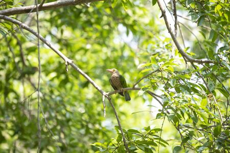 A large green and streaky barbet with distinctive yellowish bill , yellow orbital skin and specific calls.