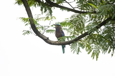The stocky blue bird was perching on bare branch of a tree and making calls.